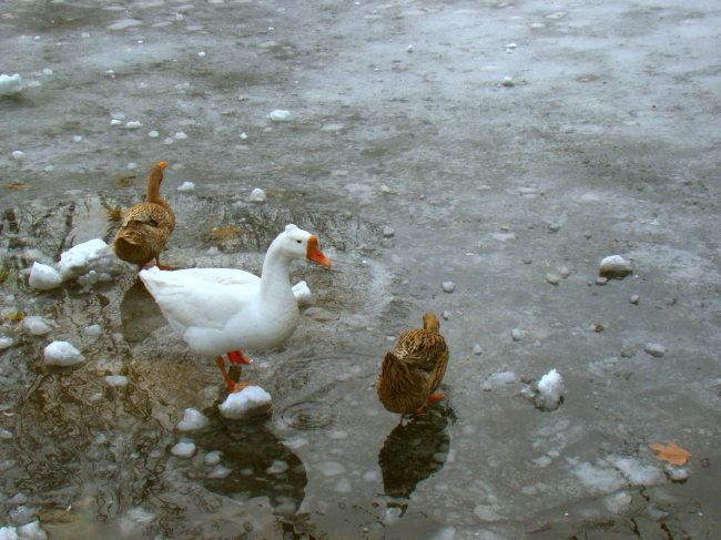 三只鸭子模板下载 三只鸭子图片下载 鸭子 鹅 家禽 喝水 戏耍