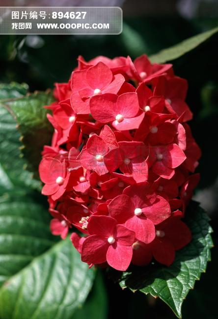 植物百科 红花