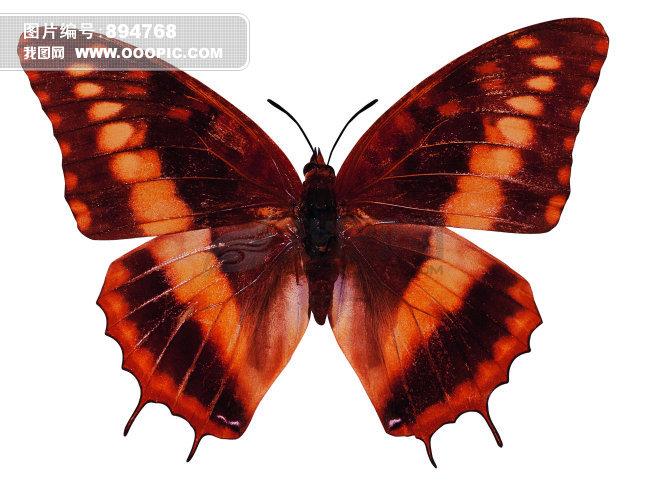 > 彩色蝴蝶  彩色蝴蝶模板下载 彩色蝴蝶图片下载 蝴蝶 动物 昆虫 小