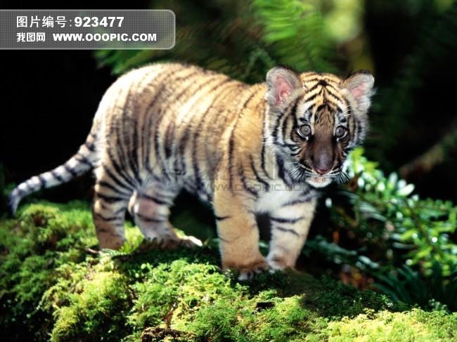 动物园小老虎图片素材(图片编号:923477)