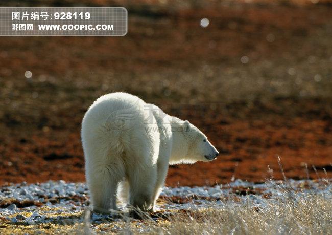 可爱北极熊图片素材(图片编号:928119)_动物图片库