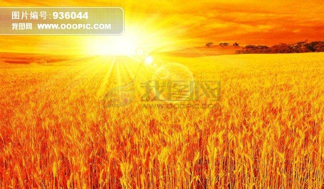金色 金色麦田 阳光 丰收 大地 粮食 光芒 秋天 成功