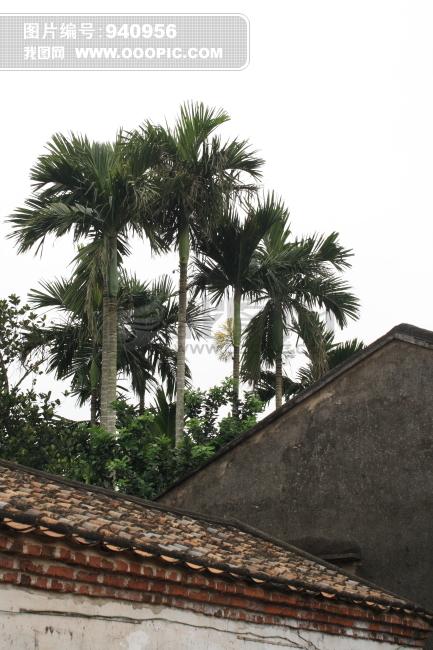 槟榔树 老屋后的槟榔树