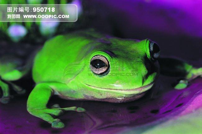 青蛙 爬行动物 动物 图片模板下载(图片编号:950718)