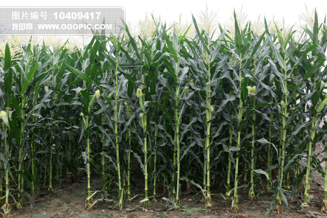 农作物玉米