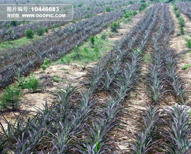 农作物菠萝地