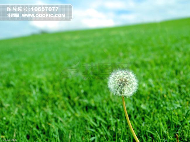 绿色草地中蒲公英图片下载