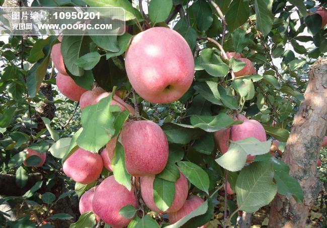 红富士诱人苹果树图片