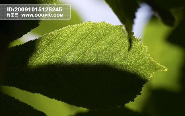 背景 壁纸 绿色 绿叶 树叶 植物 桌面 650_406