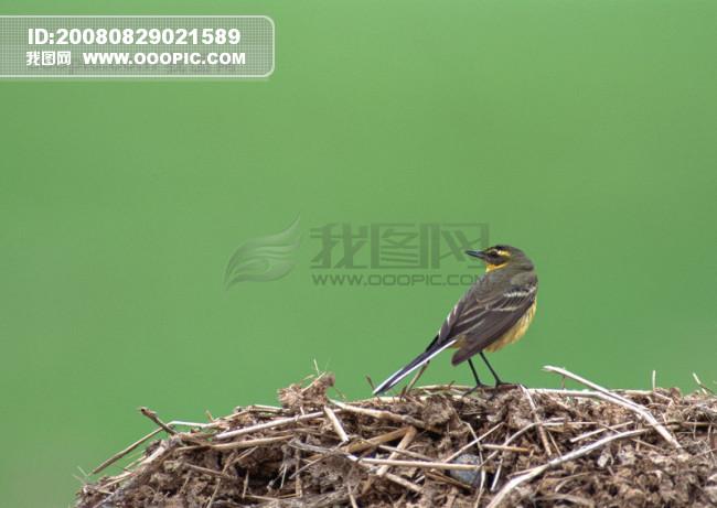 大自然 鸟类 小鸟 鸟窝 鸟巢模板下载(图片编号