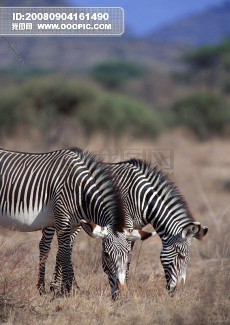 非洲野生动物 大象 狮子