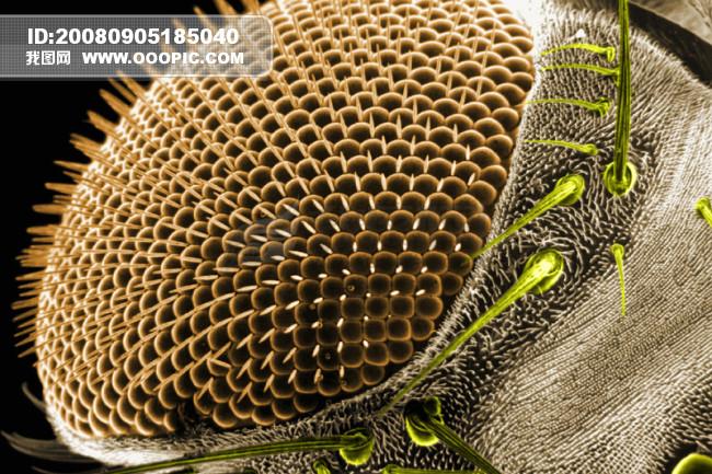 昆虫显微镜图片 微生物 细胞 蛋白球 生命力模板下载 234922