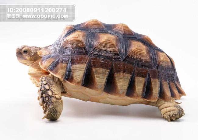 原创设计小动物 乌龟 海龟 动物世界 千年...素材是用户vipvip在2008-09-11 20:02:16上传到我图网, 素材大小为0.79 MB, 素材的尺寸为650px462px,图片的编号是279948, 颜色模式为RGB, 授权方式为VIP用户下载,成为我图网VIP用户马上下载此图片。