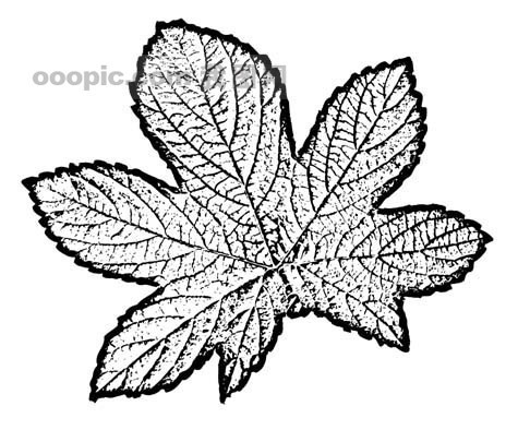 全球首席大百科 水墨 黑白 笔刷 叶子 树叶 叶脉 脉络 标本 纹理