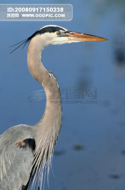 大自然 鸟 种类 品种 飞行动物 候鸟 广告素材大辞典