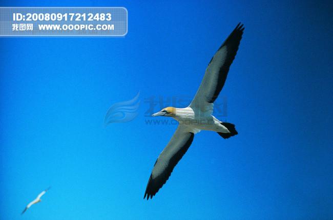 鸟 自由 翱翔 飞翔 飞行 飞行动物 种类 品种 神秘 广告素材大辞典