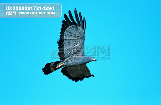 [jpg]鸟 自由 翱翔 飞翔 飞行 飞行动物 种类 品种 神秘 广告素材大