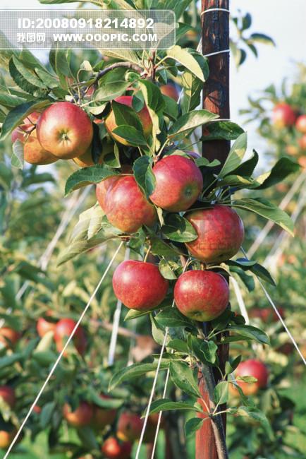 水果 果树 新鲜 叶子 果实 收获 丰收 硕果 广告素材大辞典