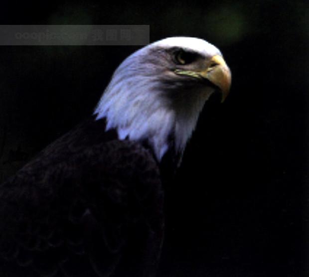 旅鸟 老鹰 飞翔 动物 飞行 展翅 翱翔 广告素材大辞典