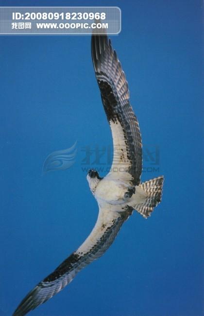 旅鸟 老鹰 飞翔 动物 飞行 展翅.