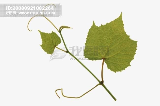 茂盛 绿叶 叶子 树叶 落叶 叶脉 脉络 形状 特点 标本 广告素材大辞典