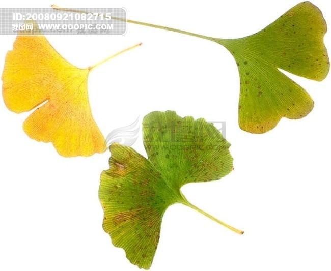 生物标本 树叶动物