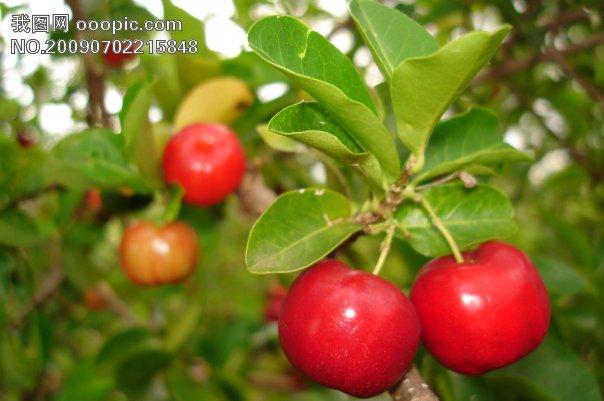 樱桃树_树木树叶_生物世界
