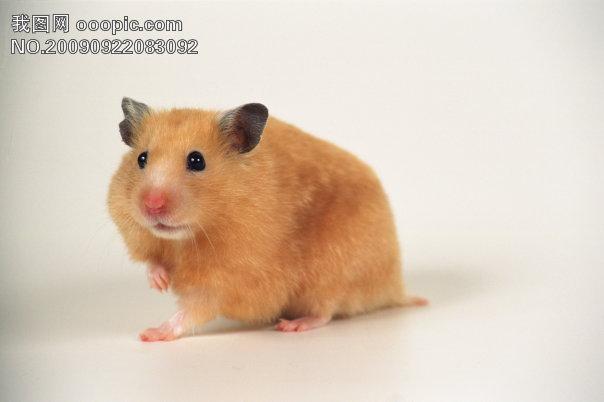 小动物宠物鼠82