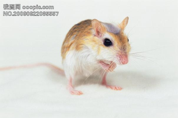 小动物宠物鼠95