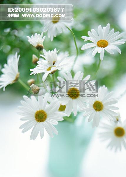 菊花/白色菊花