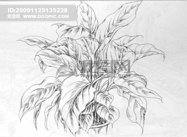 植物 速写 手绘 叶子 室内植物; 简单植物写生图片盆栽植物线描写生画