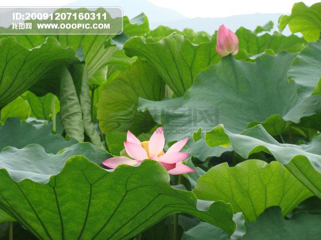 荷花 杭州西湖模板下载 荷花 杭州西湖图片下载 荷花 荷叶 杭州西湖