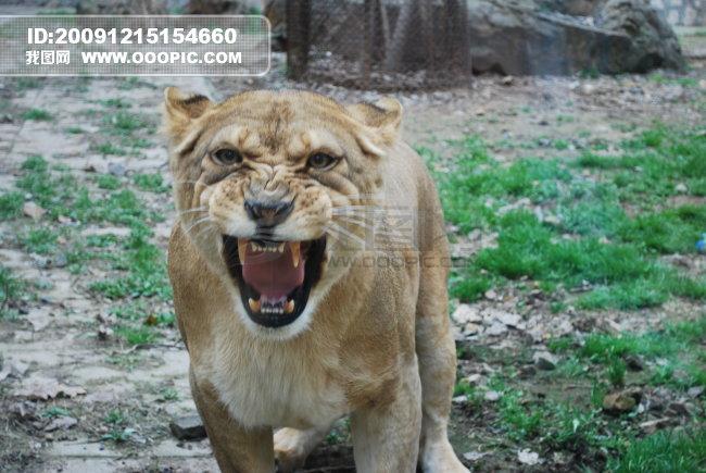 发怒的母狮子1