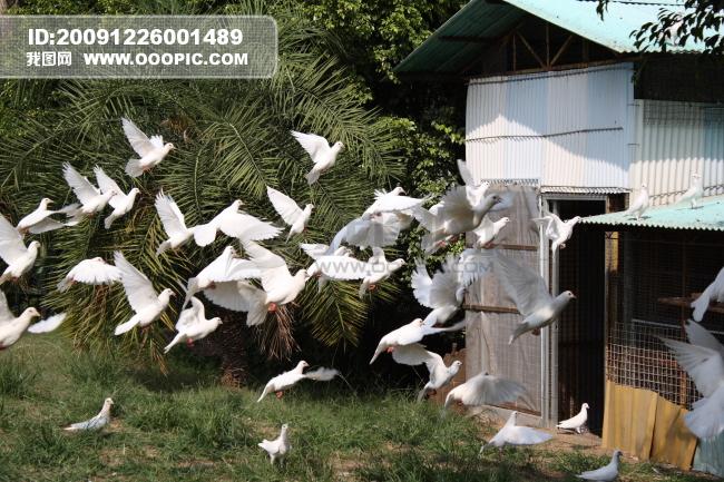 图片素材 飞翔/飞翔的白鸽