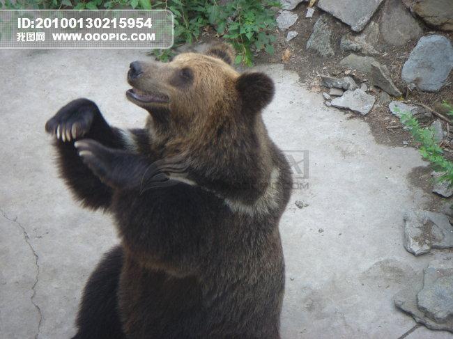 野生哺乳动物 可爱的熊 大黑熊